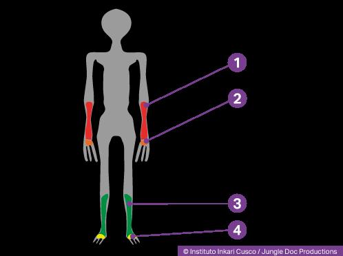 Membres d'un humanoïde reptilien