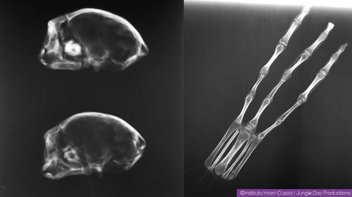 X-ray of two mummified heads and one hand