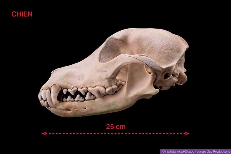 Crâne de chien.