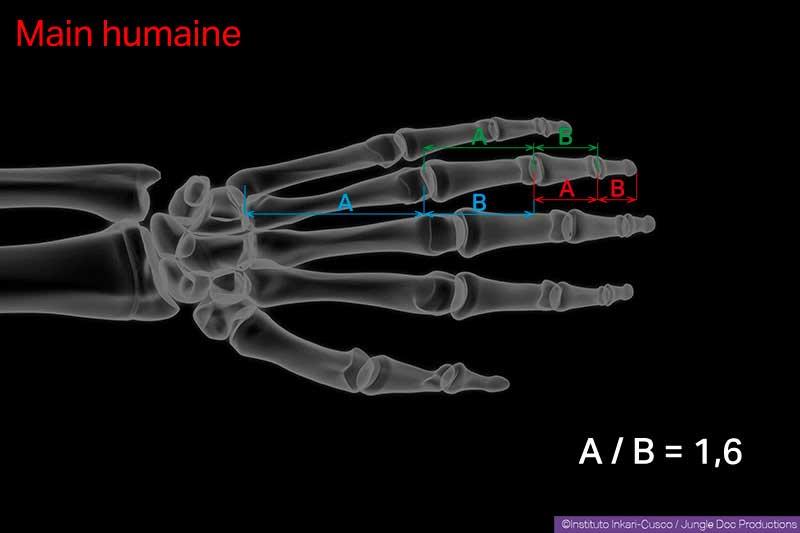 Le nombre d'or régit la relation de la longueur des différents os d'une main humaine.