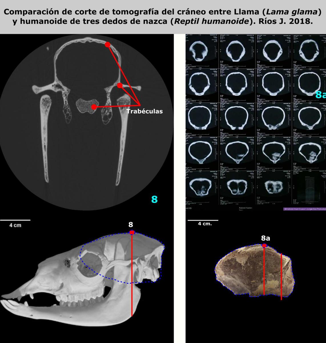 Comparaison de coupes tomographiques de crânes entre le Lama et l'humanoïde à trois doigts de Nasca