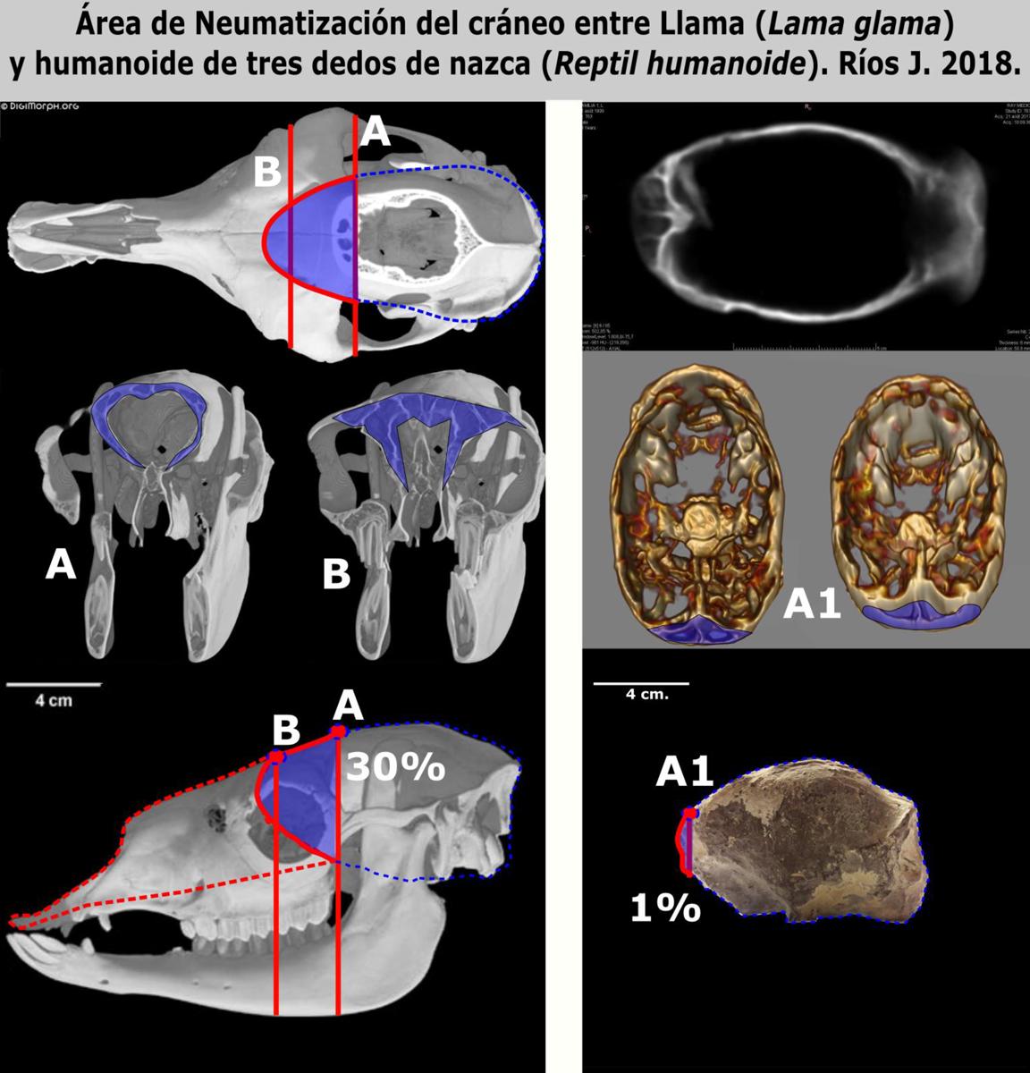 Comparación de secciones tomográficas de cráneos entre el lama y el humanoide de tres dedos de Nasca