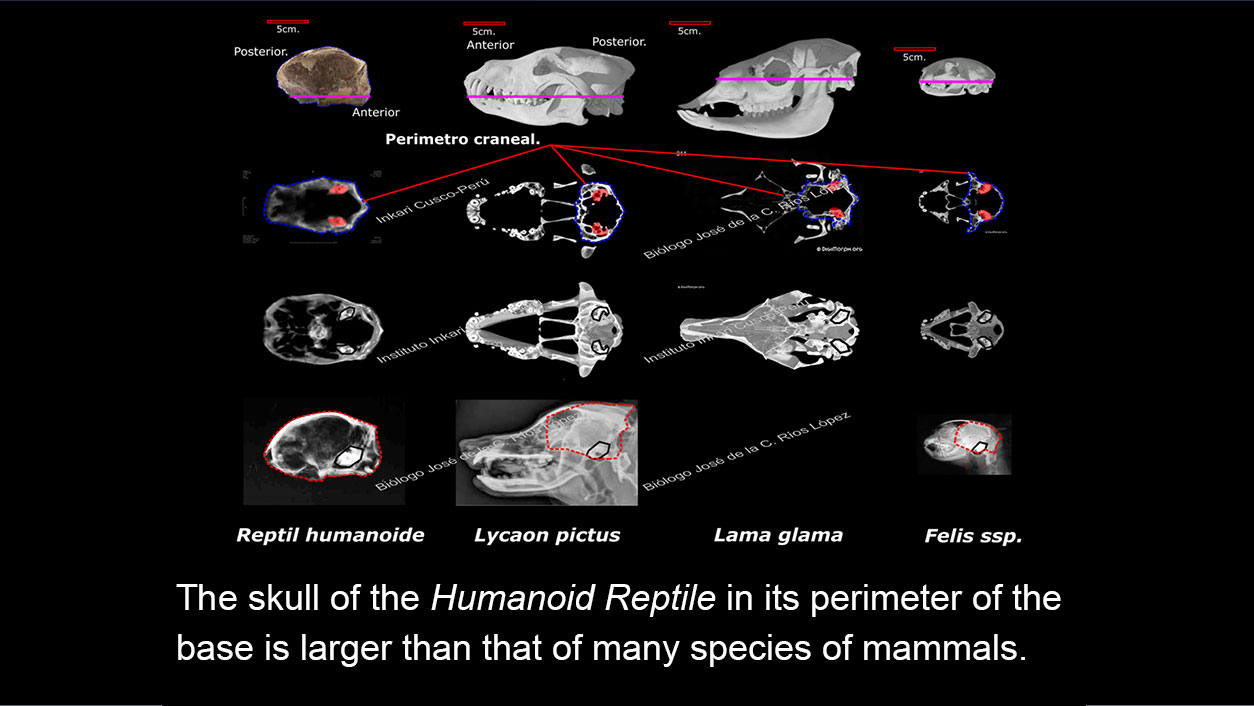 Comparison of the skull size of Josefina with mammalian species