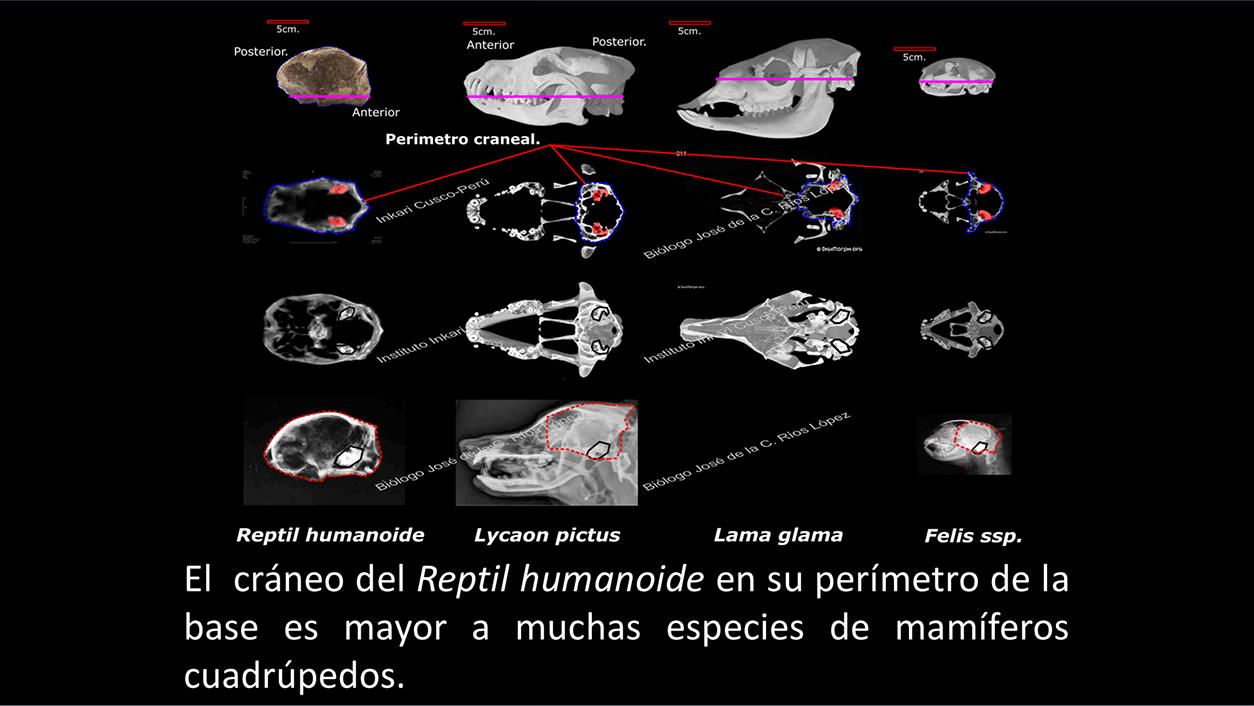 Comparación del tamaño del cráneo de Josefina con el de diferentes especies animales