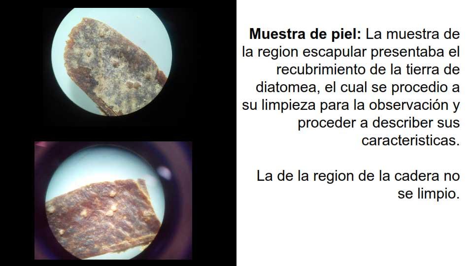 Muestras de la region escapular recubiertas de la tierra de diatomea