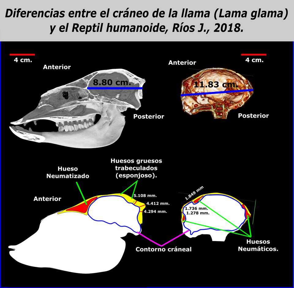 Diferencias del cráneo de la llama y del Reptil humanoide