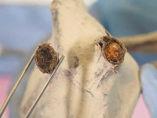 Échantillon du Reptile Humanoïde Victoria